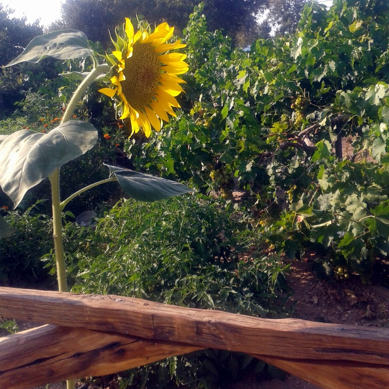 Sunflowers at your garden